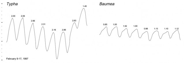 Water table fluctuations below Typha and Baumea meadows for the same period in February 1997. Figures above each peak are the evapotranspiration in mm calculated for the previous 24 hours. Vertical scale is 100mm between heavy ticks.